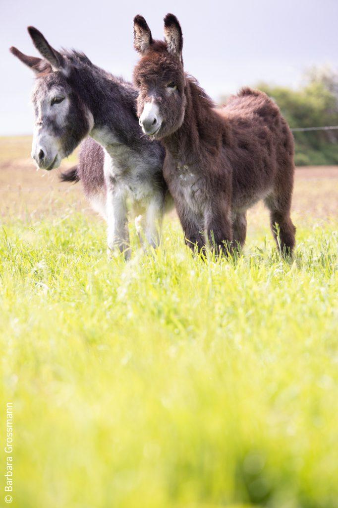 l'ânon et sa mère